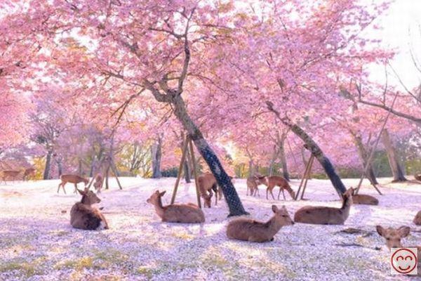 奈良で撮影されたシカたちの映像、桜の下で寛ぐ姿が美しいと海外でも話題に
