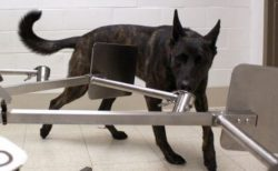 新型コロナ陽性患者を嗅ぎ分けるため、アメリカで犬のトレーニングを開始