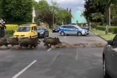 ドドドドッ!ベルリンに野生のイノシシが出現、群れが道路を横断していく