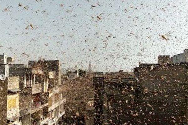 インドの街にイナゴの群れが大発生、通りや建物の屋根にもびっしり