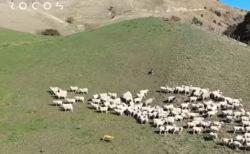 SFの世界が現実に…ニュージーランドでロボット犬が羊飼いになる