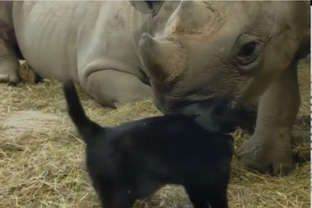 動物園でネズミ捕りする猫が、サイと仲良くなっちゃった【動画】