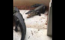 もう勘弁して…玄関開けたら2匹のワニが戦っていた!フロリダ