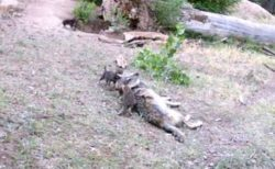 米の動物園でオオカミの子供が7匹も誕生、母親の周りを歩く姿がカワイイ