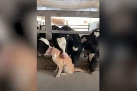 牛さんに気に入られて、ペロペロ舐められまくるニャンコの姿がなんとも言えない
