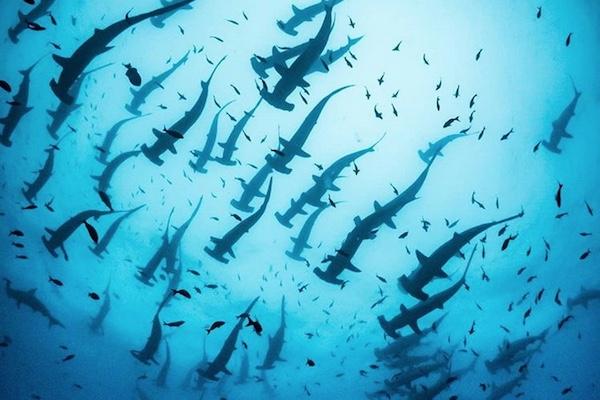 想像を絶する数のシュモクザメ、ガラパゴス諸島で大群を撮影
