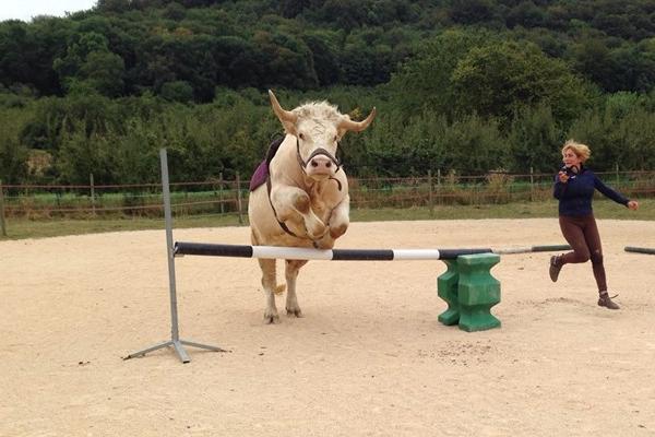 馬のジャンプ競技に挑戦する牛が可愛い