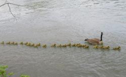 子だくさん過ぎる?雁の長~い列、 数えると47羽も!