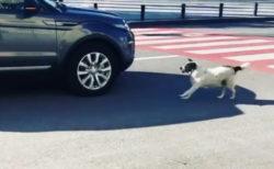 横断歩道の安全確保に取り組む野良犬が町のセレブに
