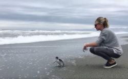 リハビリ後、海に帰されたペンギンの、振り向く姿にジンとくる【動画】