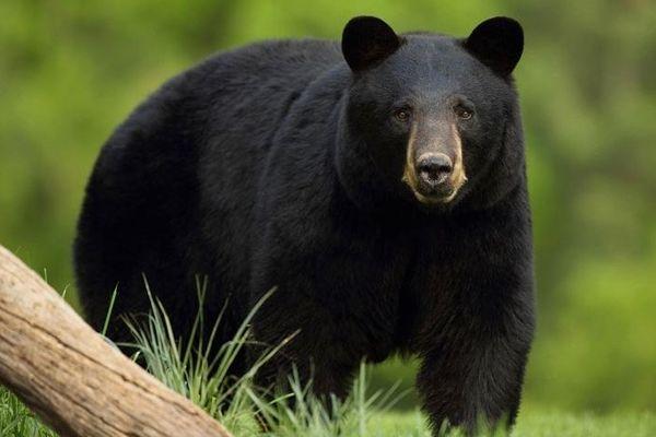 恋人を求めて600キロも移動、米で旅を続けるクマがネットで人気者に