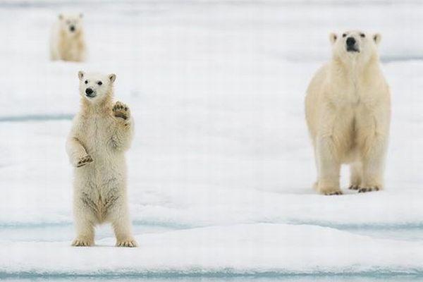 ノルウェーで撮影されたホッキョクグマの子供、手を振るような写真が可愛い