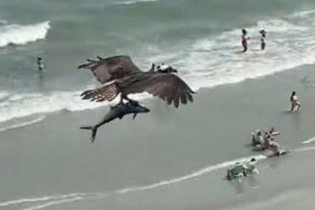 まさかサメを捕獲?ミサゴが捕まえた魚が巨大すぎる!【動画】