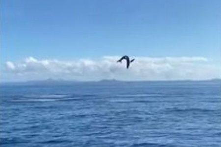サメが何度も大ジャンプ!イルカのように空中を回転する姿が凄すぎる!