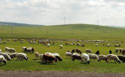 20頭の羊を屠殺場ではなく、動物保護区へ連れて行った牧場主の心は晴れやか