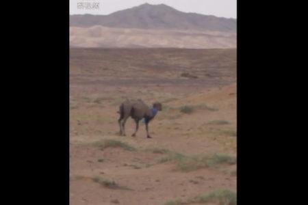 飼い主を慕うラクダ、売られた先から砂漠を100km歩いて戻る