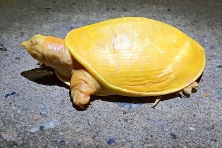 鮮やかな黄色、珍しい亀がインドで見つかった【動画】