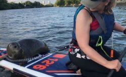 イギリスの川に野生のアザラシが出現、パドルボードに乗ってヒッチハイク