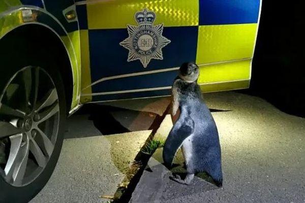 まさか!英の道路にペンギンが出現、警察がパトロール中に発見して保護