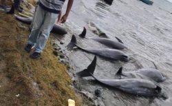 モーリシャスの浜辺に17頭の死んだイルカが打ち上げられる、重油流出が原因か【動画】