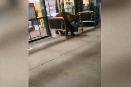 スーパーからクマが普通に出てきた!スナックをくわえた姿に撮影者の女性もびっくり
