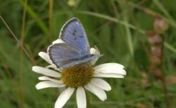 絶滅した青い蝶、再導入プログラムが成功し再び英の空に舞う
