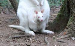 独の動物園で白いカンガルーの赤ちゃんが行方不明、誰かに盗まれたか?