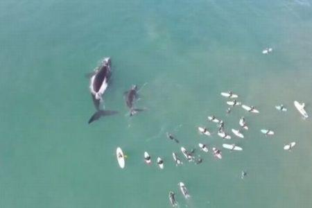 サーファーが巨大なクジラに遭遇、豪で撮影された映像がダイナミック