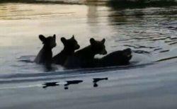 お母さんも大変…3匹のかわいい子供を背中に乗せて泳ぐクマを目撃