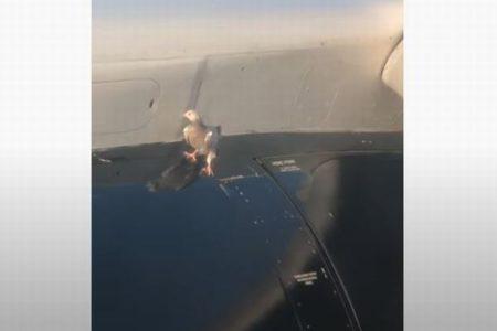 離陸しようとする飛行機の翼にハト、なぜか動こうとしない様子が不思議