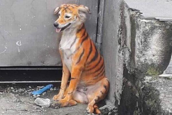 保護団体も怒り心頭!マレーシアでトラ模様に塗られた犬が見つかる