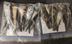 米で鳥が謎の大量死、数十万羽が空から落ちて死んでいるのを発見