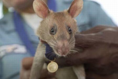 カンボジアの地雷除去に貢献したネズミを表彰、驚異の能力で住民らを救う