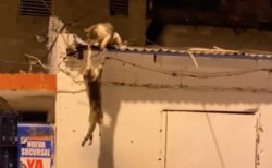 猫の喧嘩が「ライオンキング」のシーンにそっくりで、視聴回数600万回超え