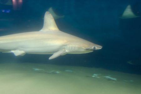 コロナワクチンのために50万匹のサメが殺される、と動物保護団体が警鐘