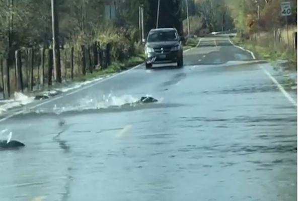 道路を泳いで横断するのはサケの群だった【動画】