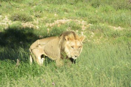 撃たれるために育てられたライオン、NGOが南アの農場から10頭を保護
