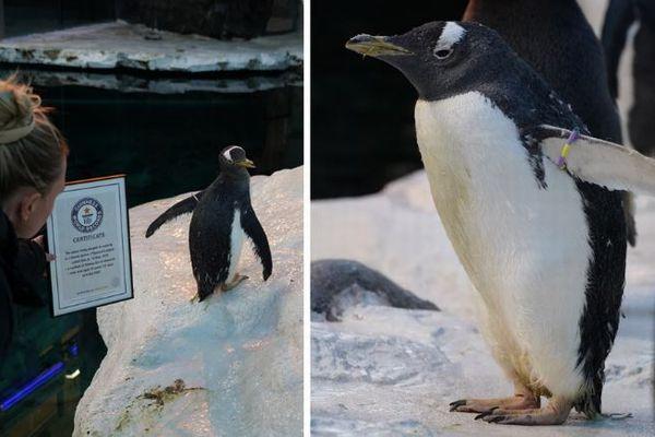 動物園で飼育されている最高齢のペンギン、その年齢はなんと41歳だった!