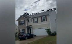 なぜ?無数のハゲワシが民家の屋根に…米で異様な光景を目撃