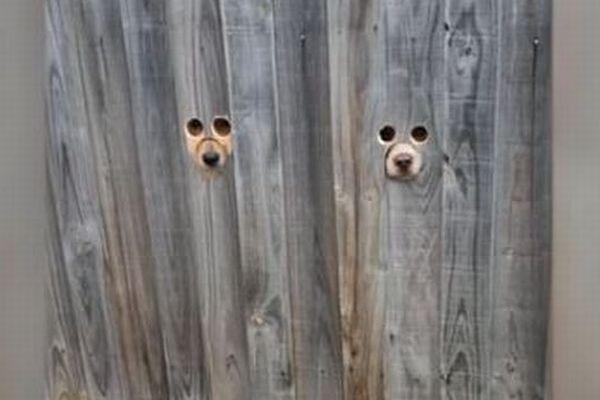 塀に開いた3つの穴から鼻を突き出し、主人を迎えるワンコが可愛い
