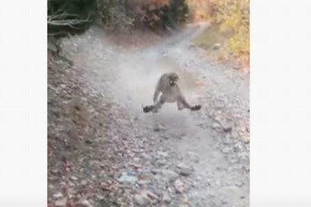 アメリカで男性が野生のクーガーに遭遇、6分間も後をつけられる【動画】