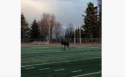 アラスカのサッカー場に現れたヘラジカ、なんとボールで遊び始める【動画】