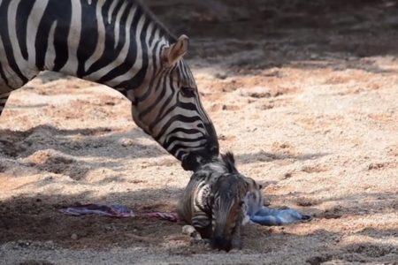 生まれた直後、池に落ちたシマウマの赤ちゃん、心配する母親の前で飼育員が救助