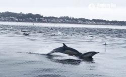 イルカが群れをなして連続ジャンプする光景が壮観