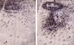 鳥の群れを使って地面に絵を描く動画が圧巻