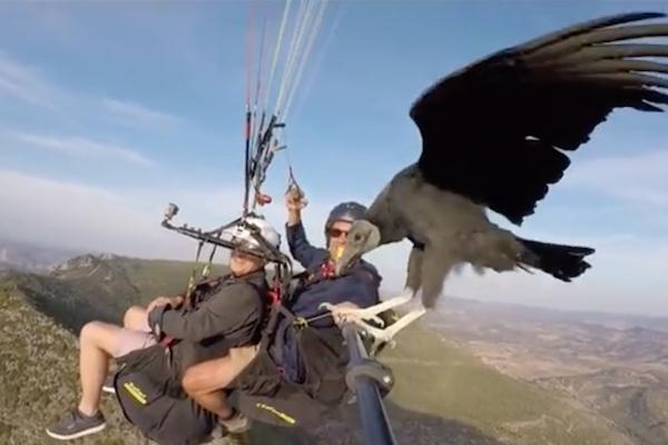 パラグライダー中にコンドルがやって来て、自撮り棒にとまった【動画】