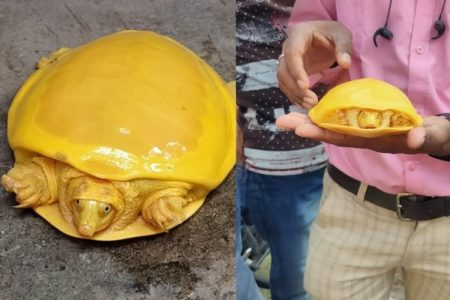 神々しい黄金のカメがインドで発見され、正体も判明!