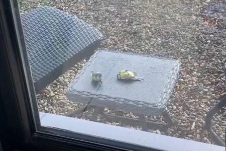 窓にぶつかって動かない仲間を気遣う小鳥、決して離れない姿に心温まる