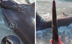 ビーチに角が突き刺さったサメ、調査で判明したカジキの恐るべき攻撃能力とは?