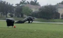 「もはやワニじゃない、ゴジラだ…」米でゴルフコースに巨大なワニが出現